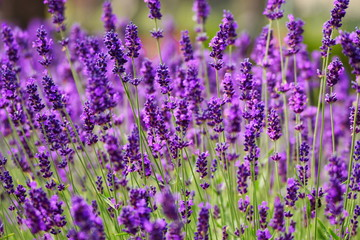 Blooming lavender in garden (violet flowers)