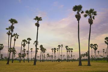 Palm tree in rice fields over sunrise sky