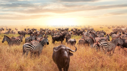 African buffalo and zebra in the African savannah at sunset. Serengeti National Park. African artistic image.