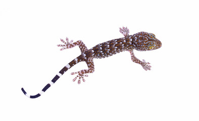 young gecko islated on a white