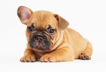 Poster Bouledogue français cute puppy of a French bulldog looking at a white background