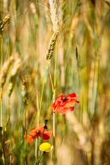 Flowers of red poppy on the wheat field