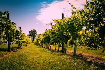 Vineyard Sun