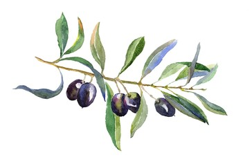 Olive branch with leaves isolated on white background. Hand drawn illustration with black olive. Watercolor drawing.