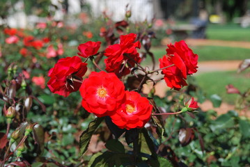 various blossoming red roses at Rosedal rose park, Buenos Aires