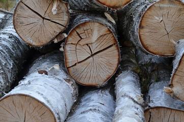 Brzoza (Betula) - ścięte drzewa, kłody