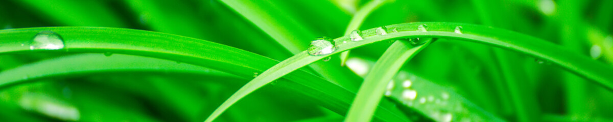 Green background with grass. Water drops on the green grass. Drop of dew in morning on a leaf. Banner, header for web design. Wall mural