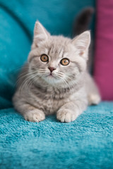 Scottish kitten posing Photo
