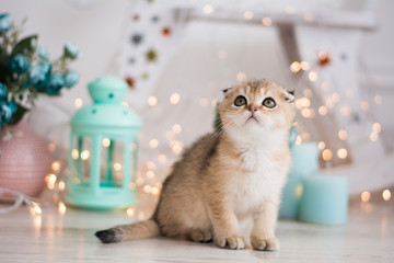 Scottish kitten posing Photo