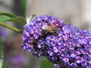 Honey Bee on Purple Buddleia