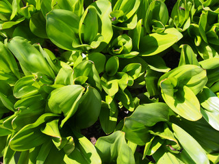 Green Plant Leaves On Ground In Sunny Garden