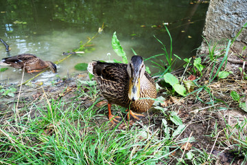 Young duck, pond