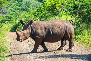 From traveling in South Africa. A Rhino crossing the road.