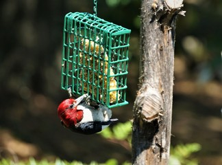 A single colorful Red-Headed woodpecker (Melanerpes erythrocephalus) perching on the green suet feeder enjoys eating food and resting on a sunny day in the garden background, Summer in GA USA.
