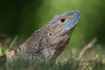 portrait of a spinytail iguana