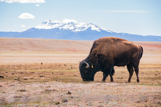 Single Bison eating grass on the field, with snowy mountain as background