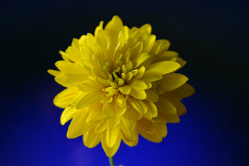 bright yellow flower on blue with a black background, minimal art