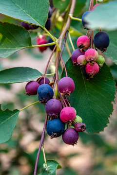 Sarvisberries in the Colville National Forest