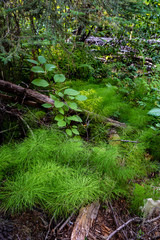 A Patch of Horsetail Ferns Along Tacoma Creek in the Colville National Forest