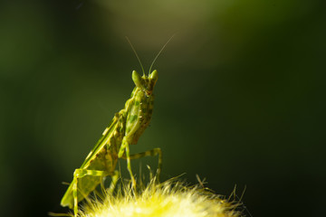 Extreme close up Praying Mantis or Mantis Religiosa, nature background