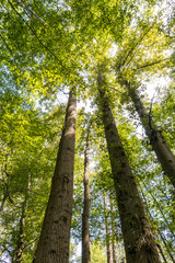 three tall trees in the forest with green leaves covering the top.