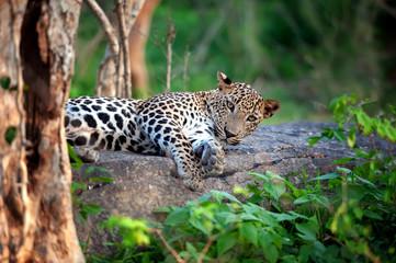 Photo sur cadre textile Leopard Leopard in the wild