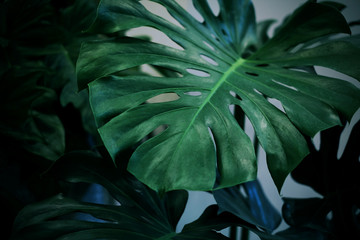 Wall Mural - Monstera deliciosa or swiss cheese plant tropical leaves background