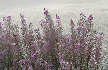Fireweed is blooming near foggy oat field