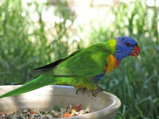 Rainbow lorikeet in the wildlife, NSW, Australia