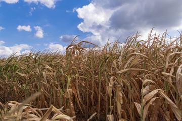 Der Regen kommt zu spät , Maisfeld ist vertrocknet