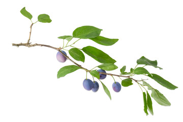 Plum branch with fruits and leaves on a white background