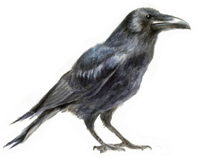 watercolor illustration of a crow, drawing by hand of a black bird for halloween