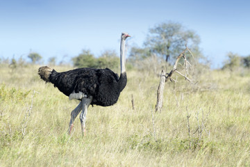 Common ostrich (Struthio camelus) walking on savanna, Kruger national park, South Africa.
