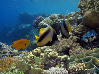 Photo of a coral colony and Bannerfish.