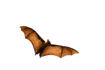 Flying bat (Lyle's flying fox) isolated on white background.