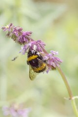 bumble collects the nectar on the flowers of the sage, salvia
