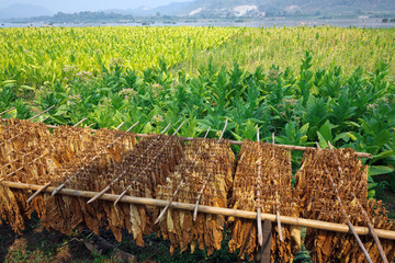 Dried tobacco leaves in the tobacco fields  in northern Thailand.