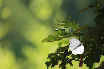 Fototapeten Natur Vlinder koolwit