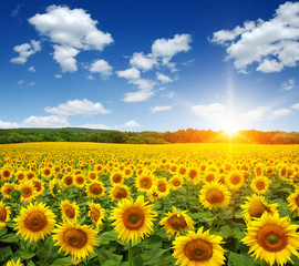 Wall Mural - field of sunflowers