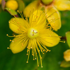 Tutsan Bush Bloom