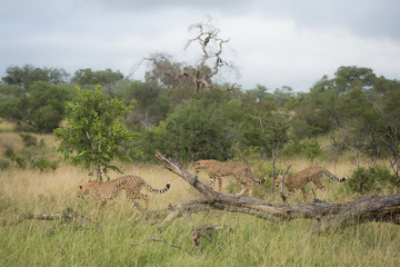 A horizontal, colour photo of three cheetah, Acinonyx jubatus, walking along a fallen tree in the the Greater Kruger Transfrontier Park, South Africa.