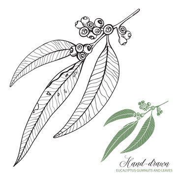 Sketched Eucalyptus Gumnuts and Leaves Vector