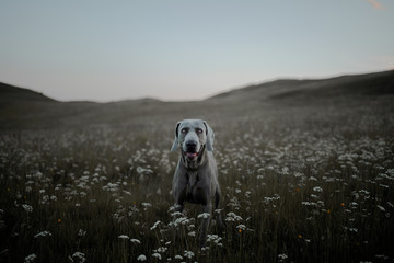 Happy dog in a field of flowers