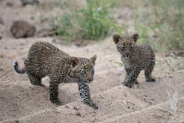 2 leopard cubs walking together