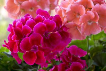 Geranienblüte - Pelargonie