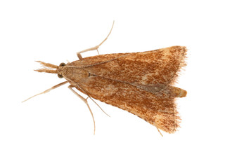 Synaphe punctalis is a moth in the Pyralidae family. Small, brown. Here isolated on white background.