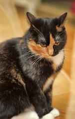 beautiful tricolor cat