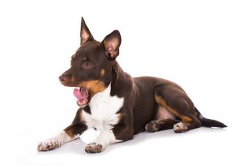 Junger Terrier gähnt isoliert auf weißem Grund
