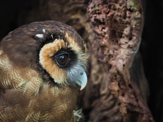 Brown Wood Owl Portrait