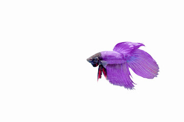 isolated fighting fish